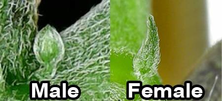 A small comparison of cannabis sex parts