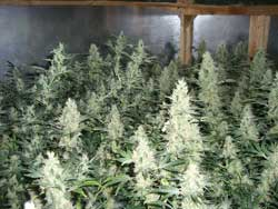 Many colas spaced evenly and trained to be about the same height. A setup light this tends to maximize your grow lights