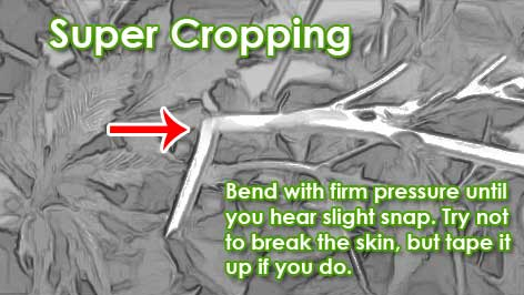 Example of cannabis super cropping